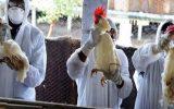 موردی از بیماری آنفلوآنزای فوق حاد پرندگان مشاهده نشده است / آغاز پایش آنفلوآنزا فوق حاد پرندگان
