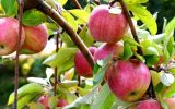 سیب زنوز دارای برند جهانی/برداشت ۶۵ هزار تن انواع میوه در شهرستان ویژه مرند